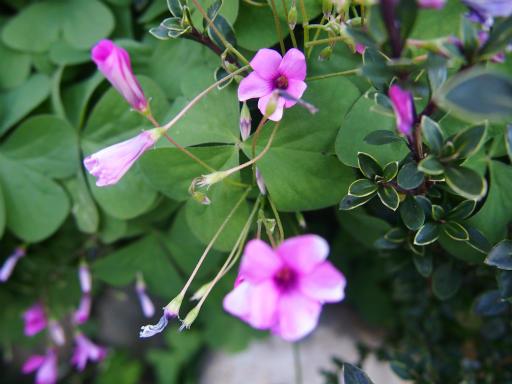 20131130・初冬散歩植物16・イモカタバミ