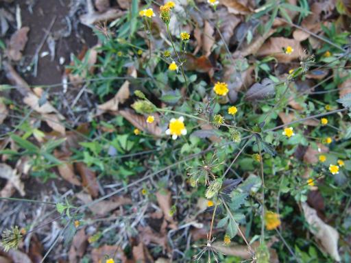 20131130・初冬散歩植物15・アイノコセンダングサ