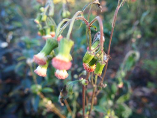 20131130・初冬散歩植物13・ベニバナボロギク