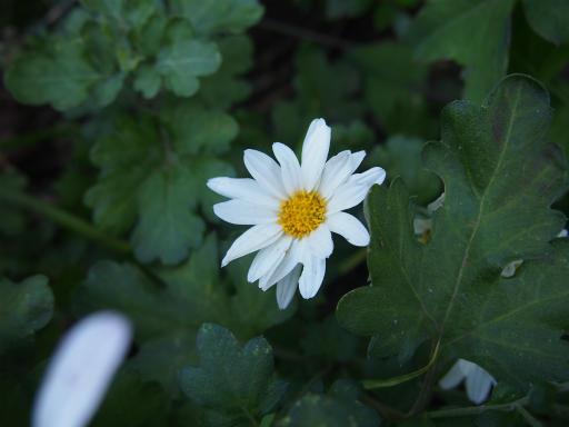 20131201・緑の森植物05・リュウノウギク