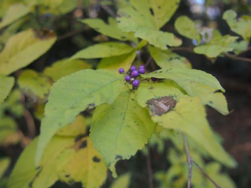 20131201・緑の森植物01・ムラサキシキブ