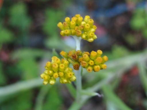20131205・狭山湖植物4・ハハコグサ