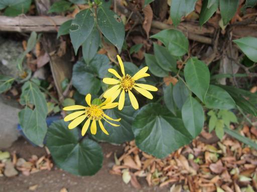 20131205・狭山湖植物1・ツワブキ