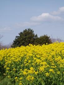 菜の花と雲