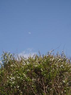 ユキヤナギと月