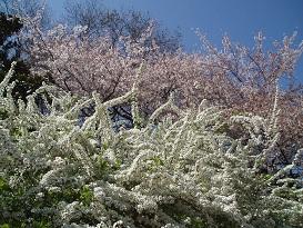 ユキヤナギと桜