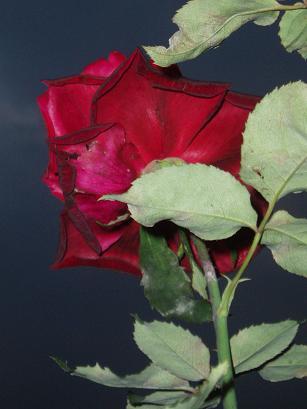 漆黒の薔薇