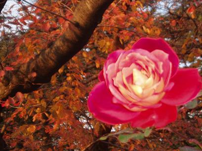 紅葉と薔薇