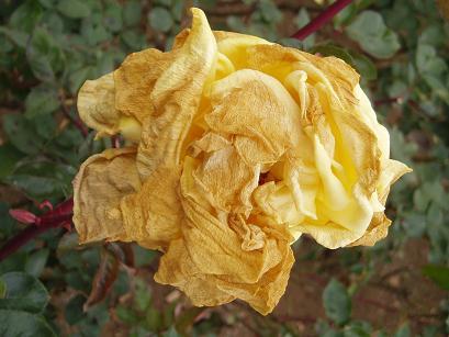 老いた薔薇