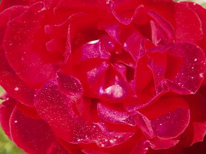 神秘の薔薇