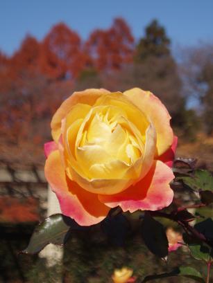 黄金の薔薇?
