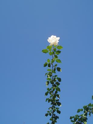 薔薇の理想