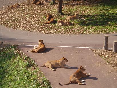 獅子たち?