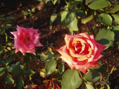 二つの薔薇