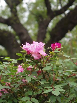 妖精の薔薇