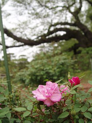 魔法の薔薇