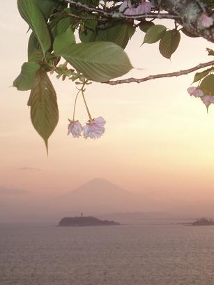 八重桜と富士山と夕日