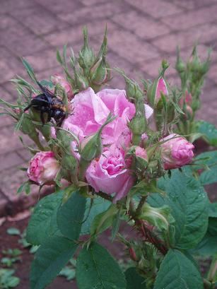 ダマスクローズとハチ