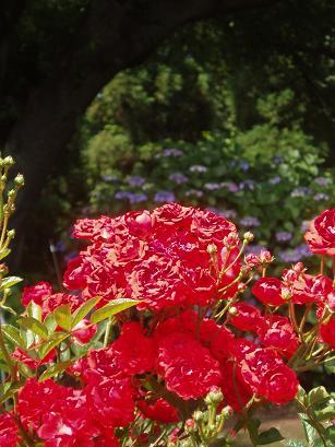 グロリア・ムンディと紫陽花