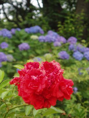 グロリアムンディと紫陽花