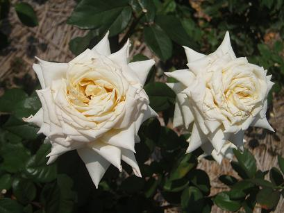 剣弁高芯咲きの薔薇