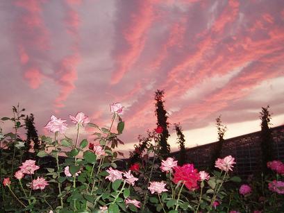 薔薇と夕焼け