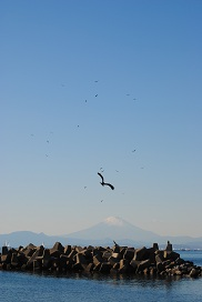 トンビの乱舞と富士山