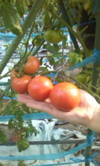 苗と塩トマト