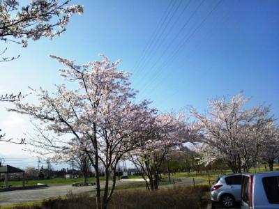 120424_あずみ野の桜2