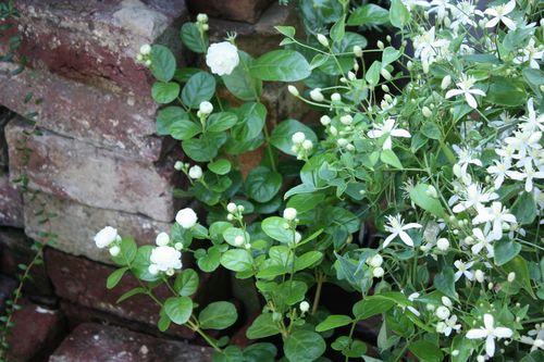 T's Garden Healing Flowers‐マツリカ・ジェイド