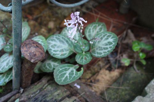 T's Garden Healing Flowers‐プレクトランサス・エメラルドレース
