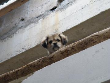 ペルー_犬