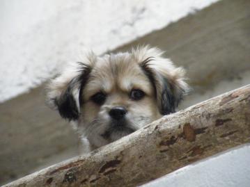 ペルー_犬②