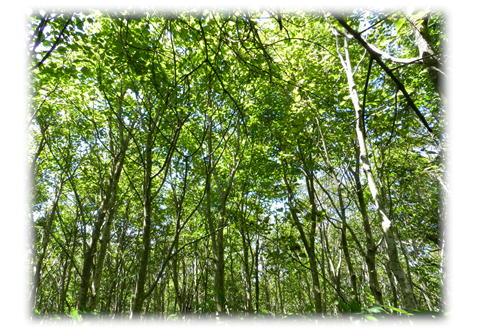 9.10 ブナの樹林帯を進みます。