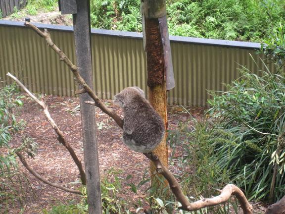 Koala back