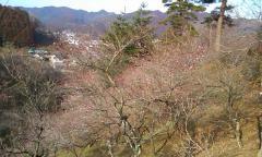 青梅・梅の花・02
