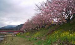 河津桜・06