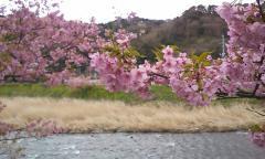 河津桜・07