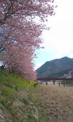 河津桜・05