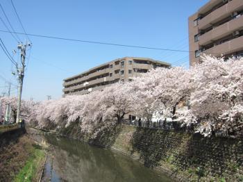 実家桜祭り2