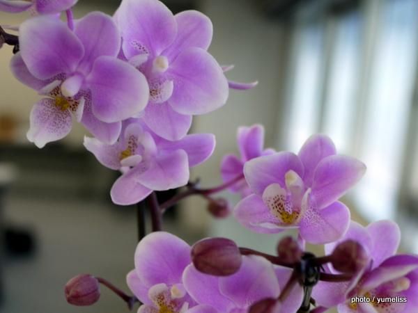 日比谷花壇「サクラン」胡蝶蘭