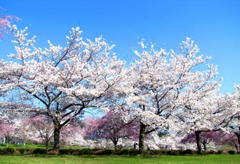 父羊山公園の桜