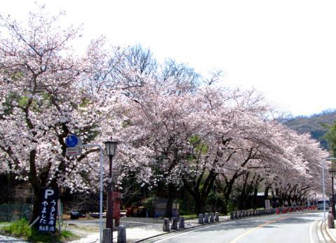 宝登山神社の桜