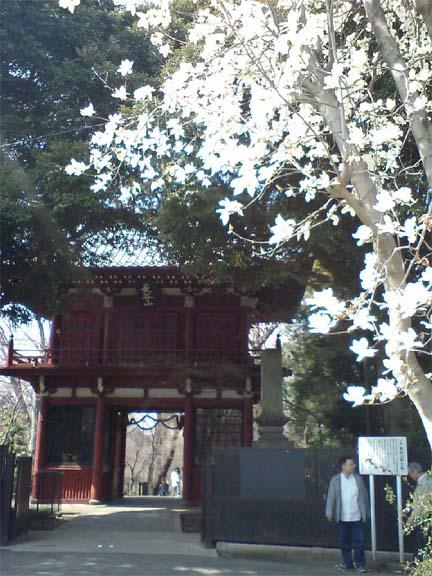 本土寺山門のこぶし