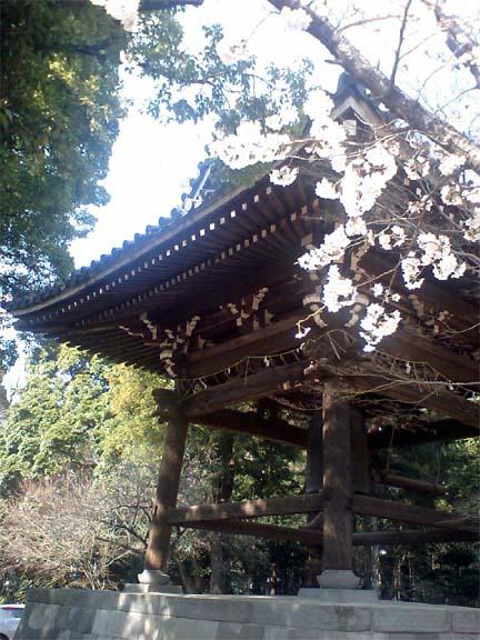 東漸寺鐘楼前の桜