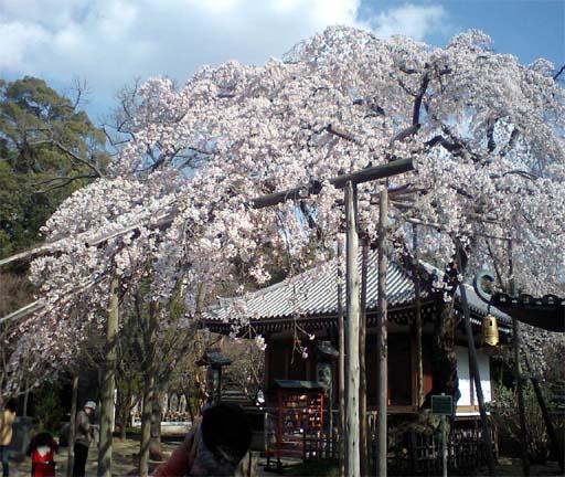 東漸寺枝垂れ桜