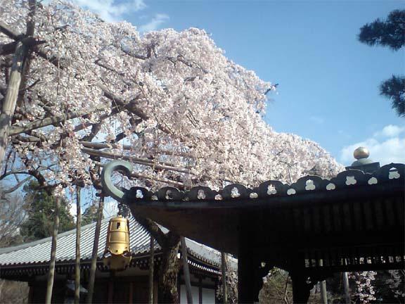 東漸寺の枝垂れ桜