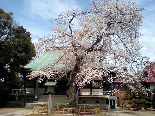 清瀧院本堂前の桜