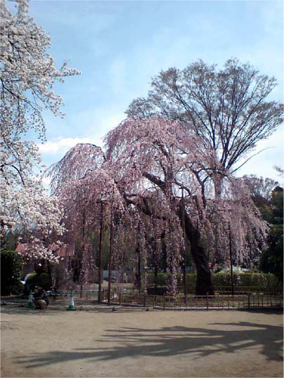 清瀧院の枝垂れ桜