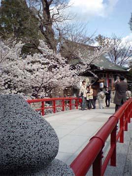 松戸神社の桜の賑わい